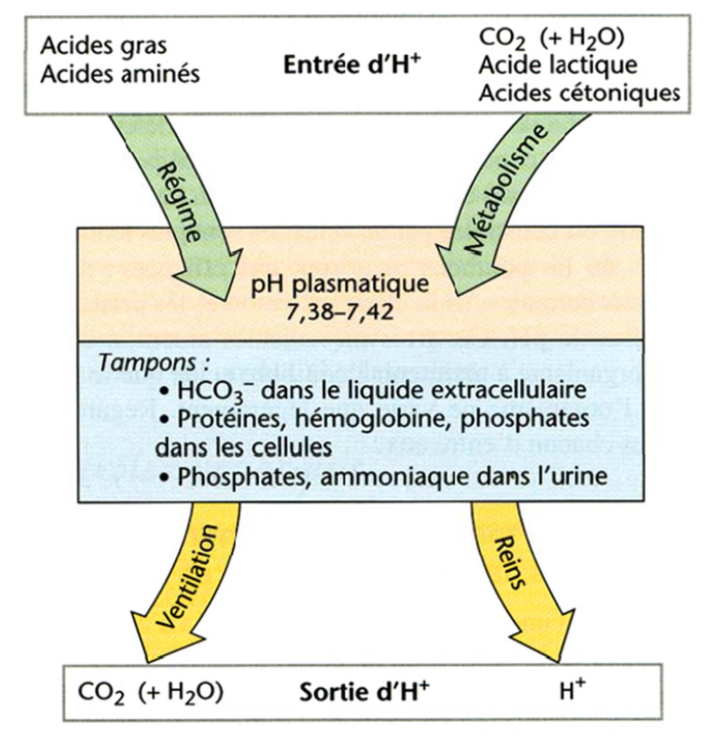Transport du CO 2 Le ph («potentiel Hydrogène») mesure la