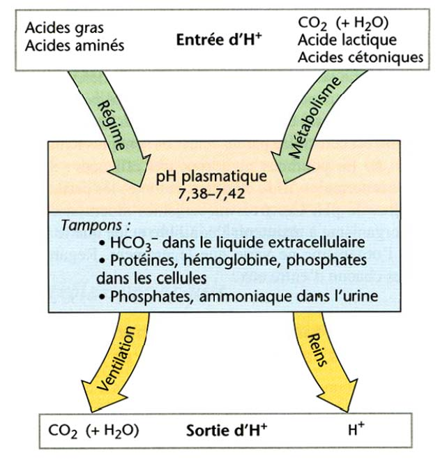 Transport du CO 2 Le ph («potentiel Hydrogène») mesure la concentration d ions H +