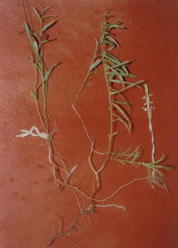 Another striga gesnerioides plantlet attached to a root A Merremia tridentata subsp.