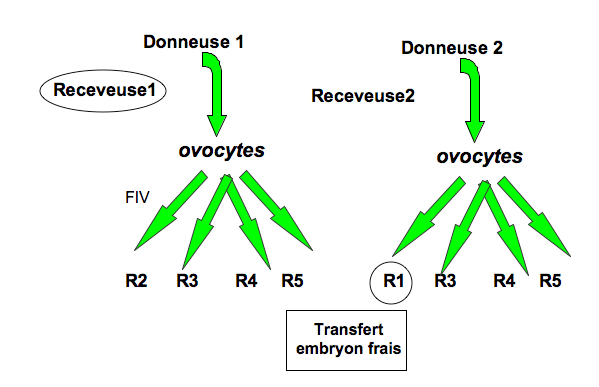 4. Les différents types de don d ovocyte A. Le don anonyme Il s agit d un don d ovocyte(s) qu une femme fait volontairement à une(des) autre(s) femme(s) qu elle ne connaît pas.