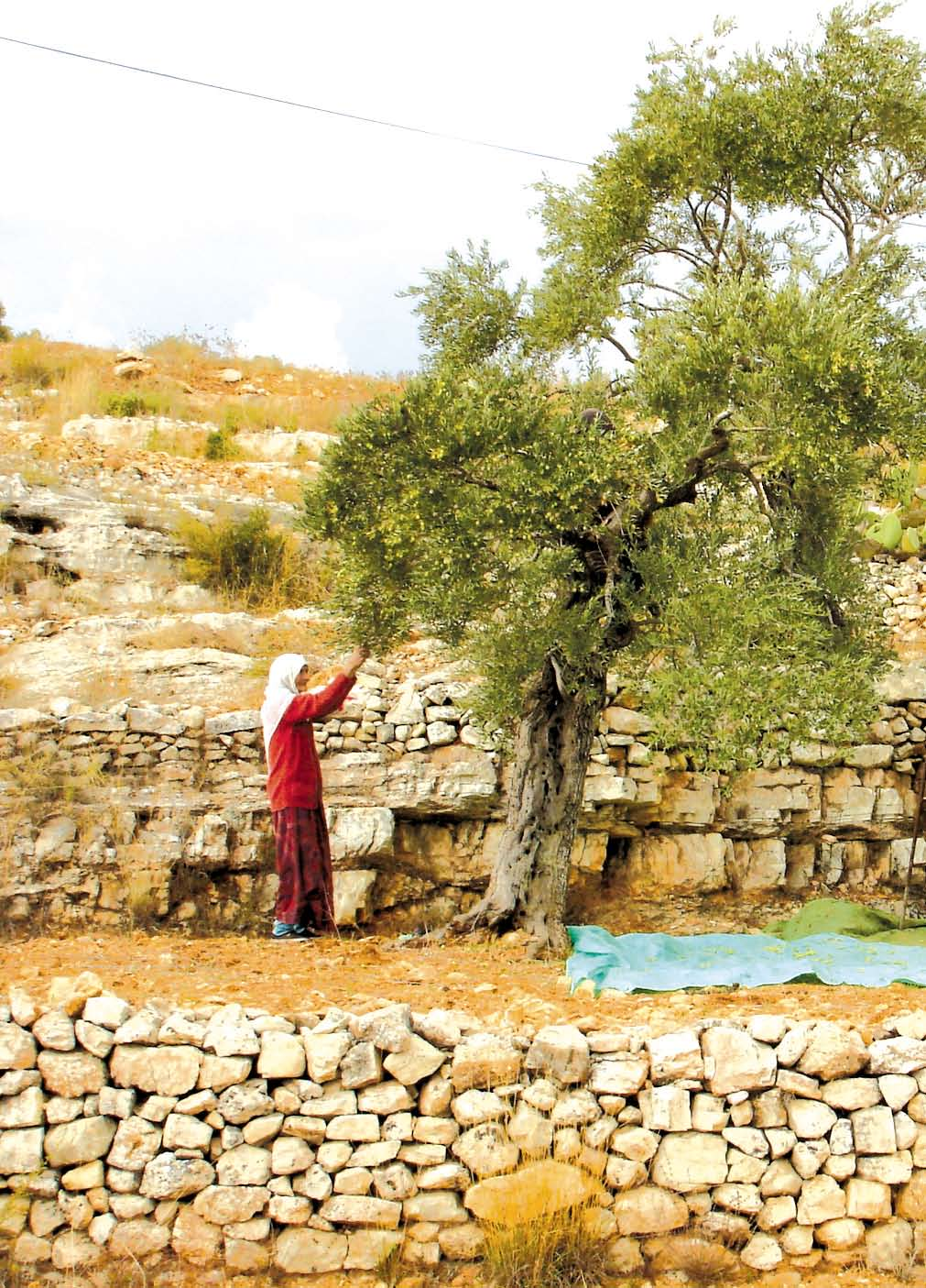 If the Olive trees had known the hands that planted