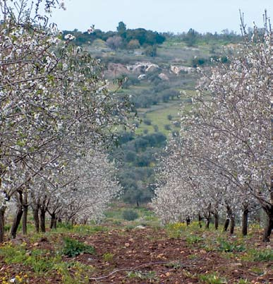 The Fruitful Trees Association in Jenin markets the almonds for the benefit of farmers while the supervision section in the Fair Trade Department provides consultations for the farmers in early