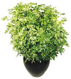 Escomptés Discount Régulier Regular 0110 Plantes tropicales vertes / Green tropical plantes (3' - 5' haut/tall)