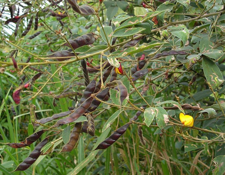 The cultivation of the pigeon pea goes back at least 3000 years.