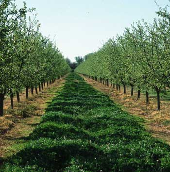 Cover crops in an orchard reduce soil erosion.