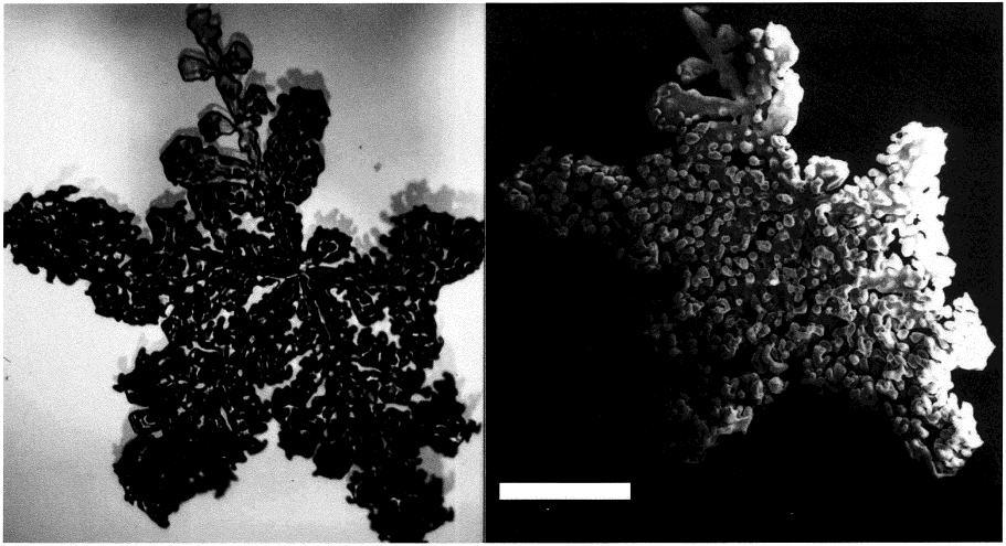 FIGURE 1. Photographs of a heavily rimed dendritic snow crystal, using optical microscopy (left) and scanning electron microscopy (right). Scale bar: 1 mm. TABLE 2.