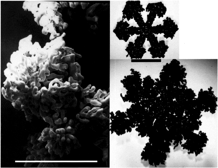 FIGURE 2. Scanning electron microscope photograph of a graupel particle (left) and optical microscopy pictures of very heavily rimed stellar and dendritic snow crystals. Scale bars: 1 mm.
