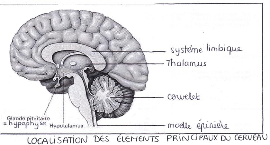 Le rire : de l action dans le cerveau aux bienfaits psychologiques et de deux types de prolongements : des prolongements multiples et relativement courts permettant la réception des informations,