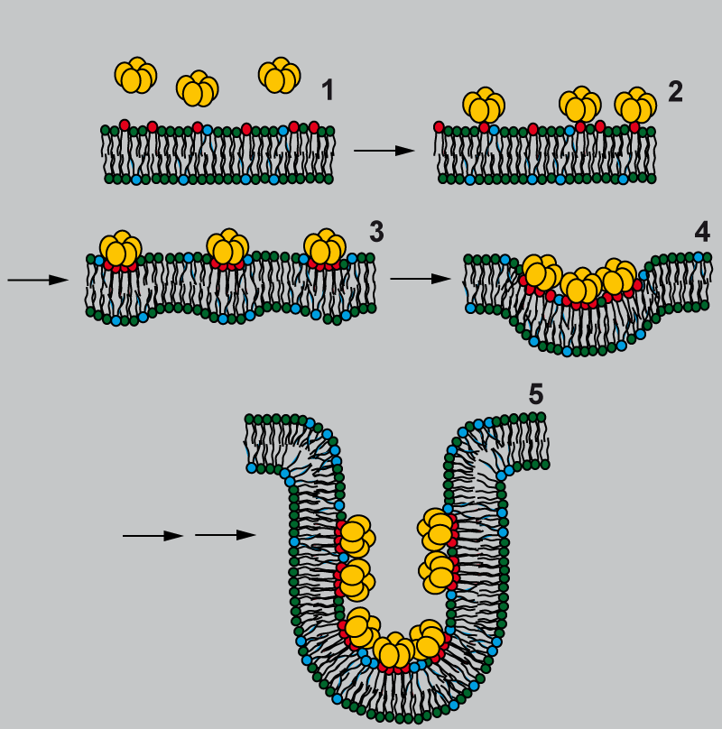 Model for Shiga toxin-induced membrane