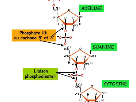L acide phosphorique (H3PO4).