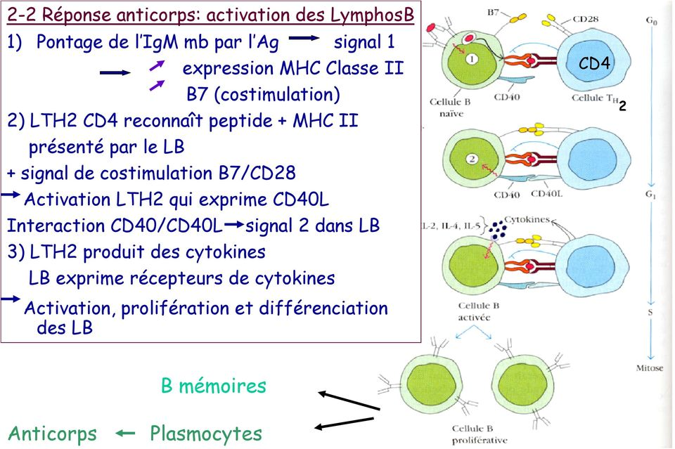 Activation LTH2 qui exprime CD40L Interaction CD40/CD40L signal 2 dans LB 3) LTH2 produit des cytokines LB