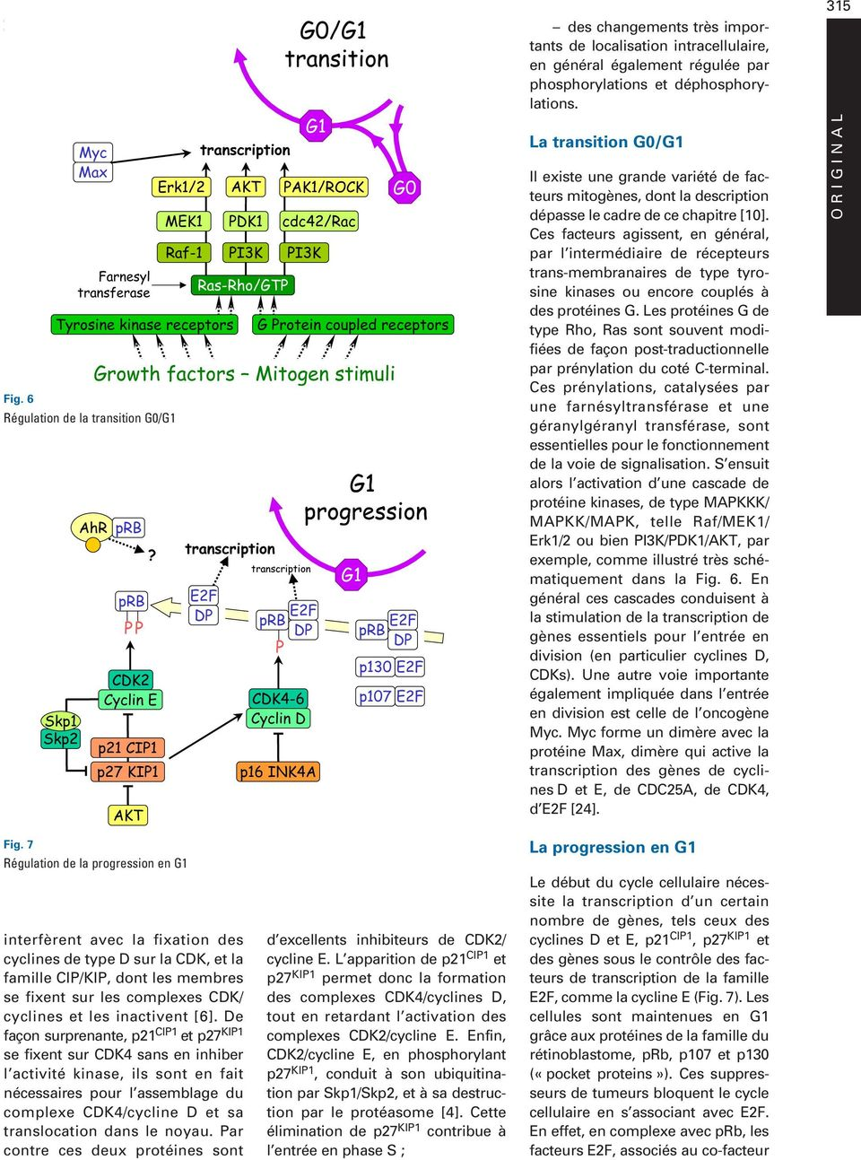 6 Régulation de la transition G0/ Growth factors itogen stimuli AhR prb transcription?