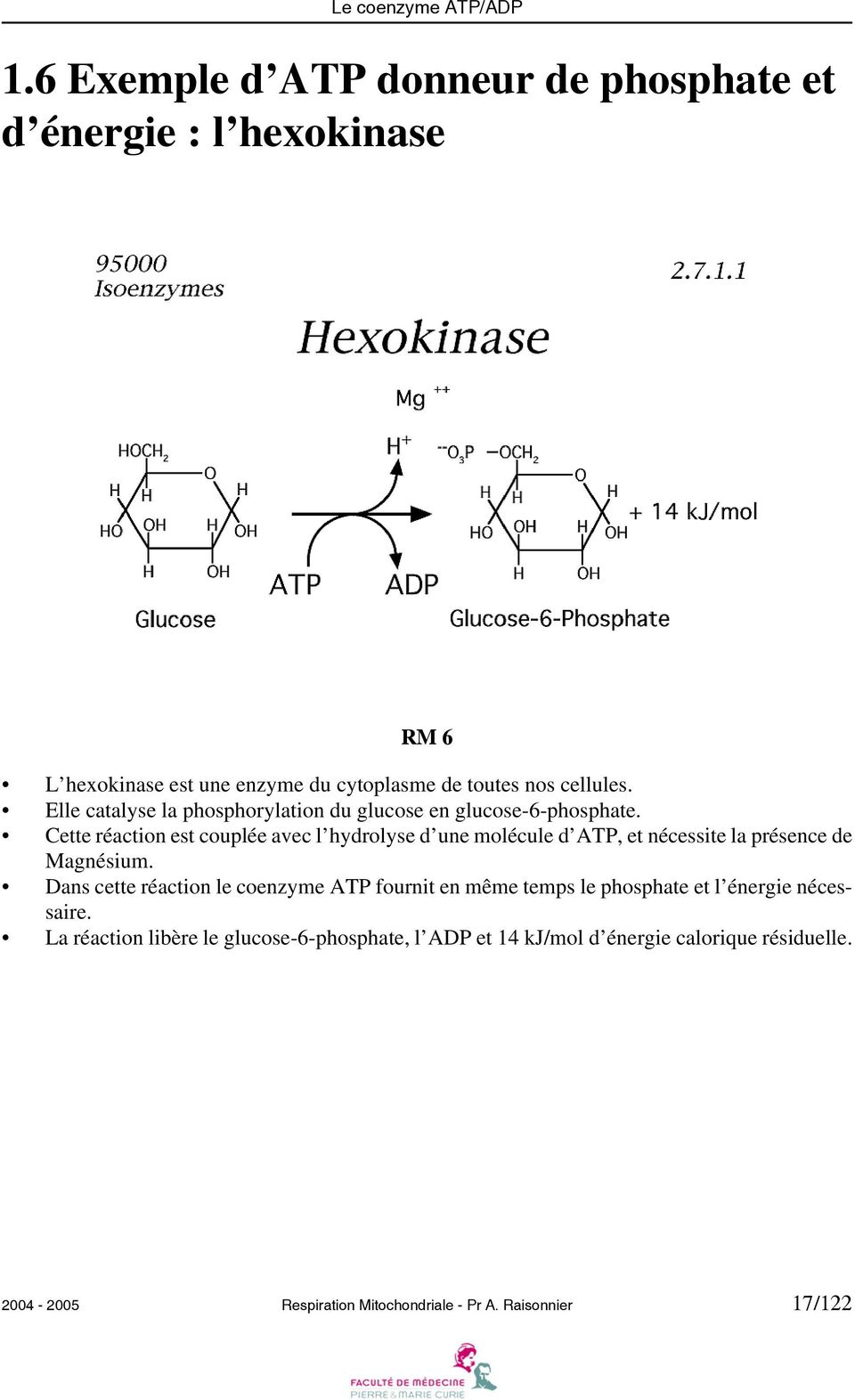 Elle catalyse la phosphorylation du glucose en glucose-6-phosphate.