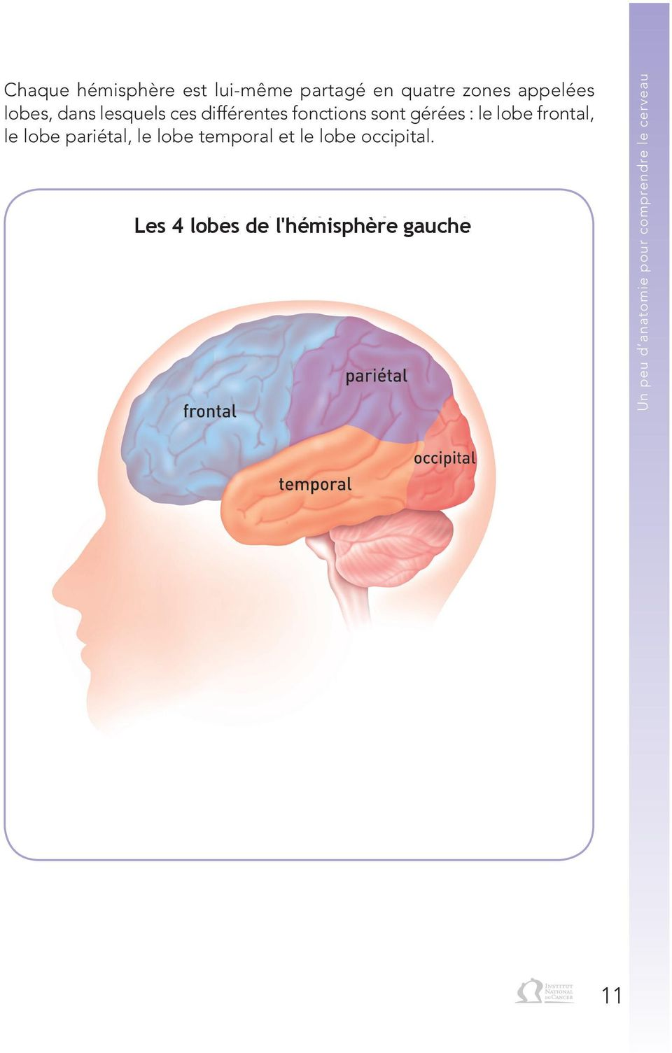 le lobe pariétal, le lobe temporal et le lobe occipital.