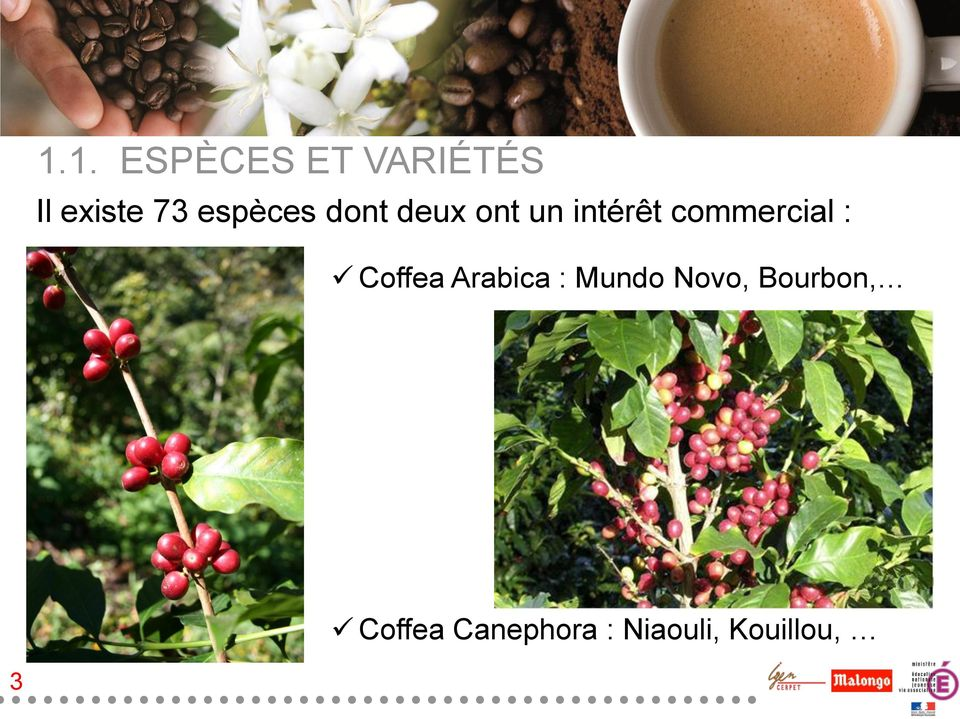 commercial : Coffea Arabica : Mundo