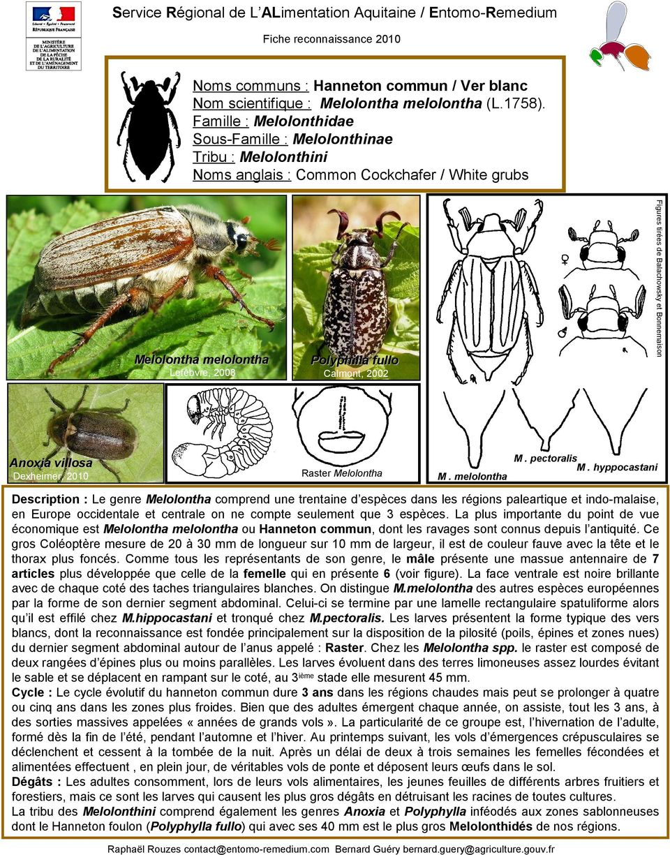 fullo Calmont, 2002 Raster Melolontha M. melolontha M. pectoralis M.