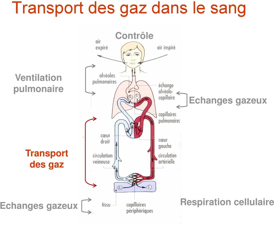 Echanges gazeux Transport des gaz
