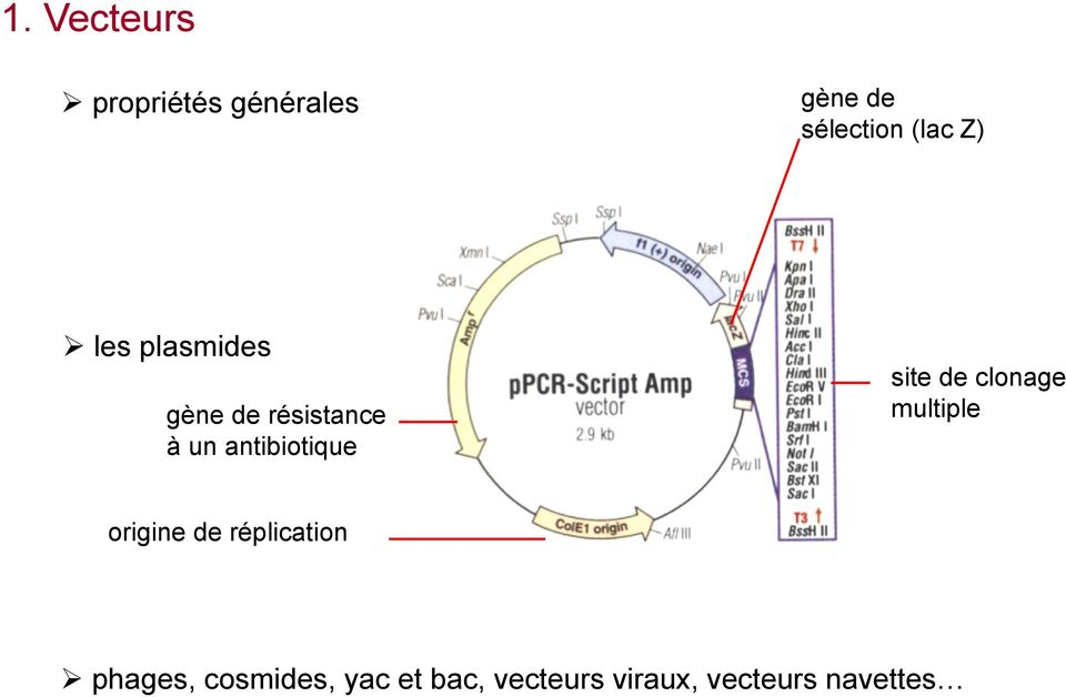 site de clonage multiple origine de réplication phages,