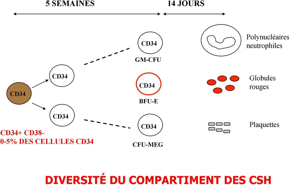 Globules rouges CD34 CD34+ CD38-0-5% DES