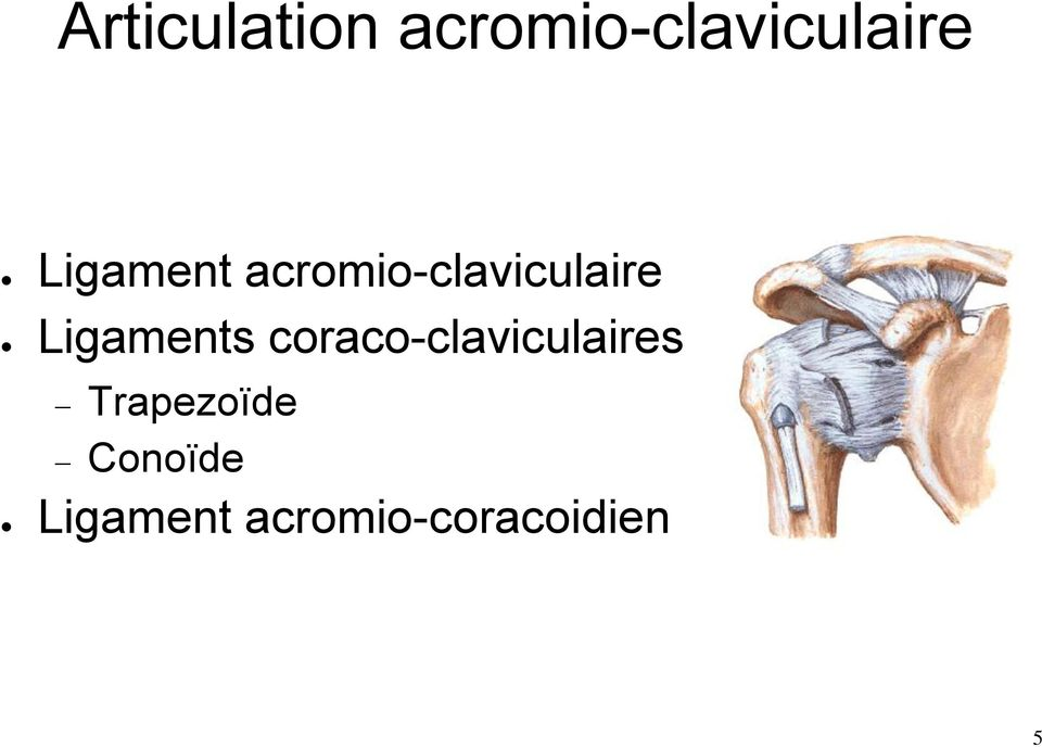 Ligaments coraco-claviculaires