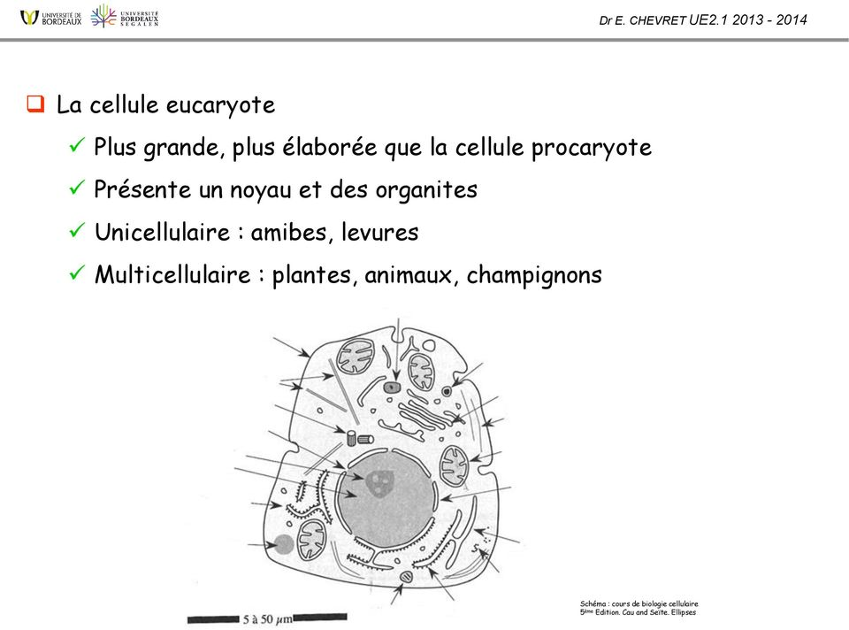 amibes, levures Multicellulaire : plantes, animaux, champignons