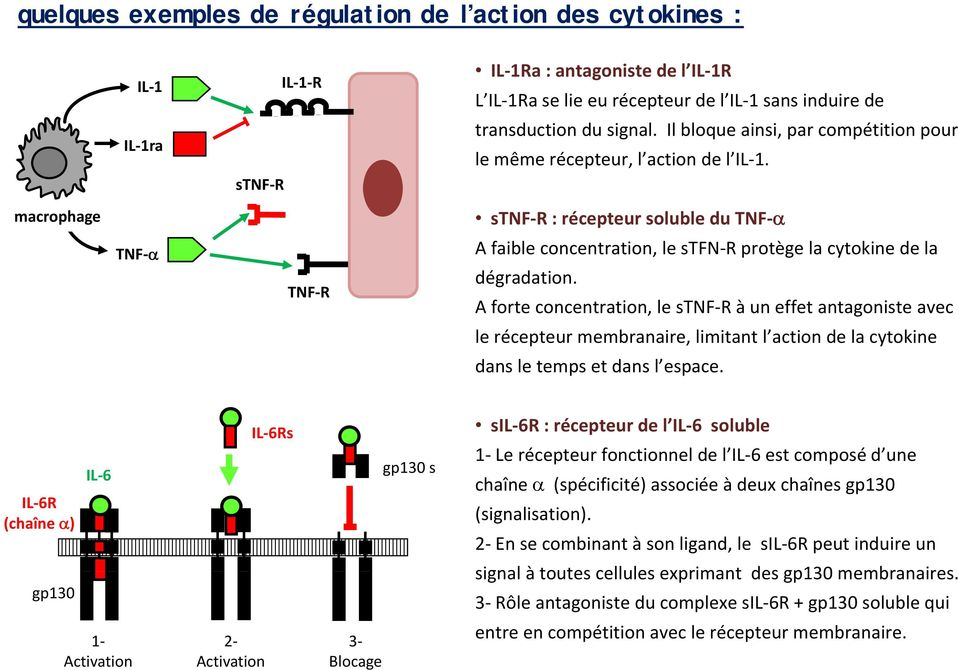 macrophage TNF TNF R stnf R : récepteur soluble du TNF A faible concentration, le stfn R protège la cytokine de la dégradation.