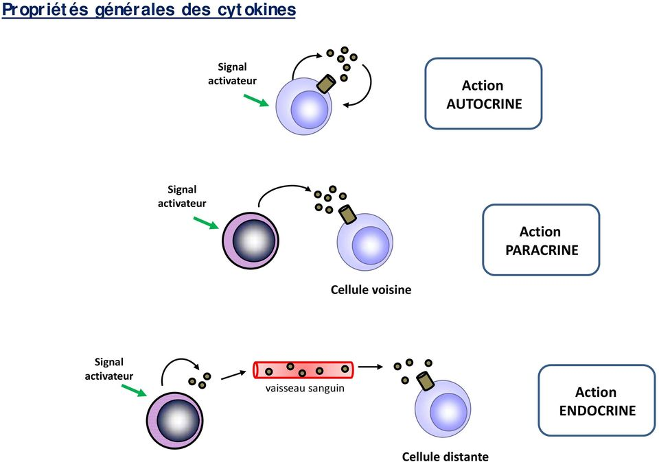 Action PARACRINE Cellule voisine Signal