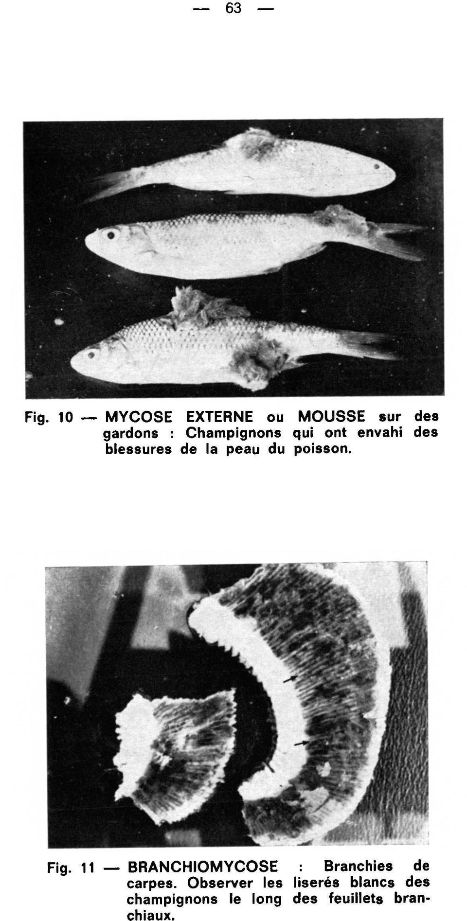 poisson. Fig. 11 BRANCHIOMYCOSE Branchies de carpes.