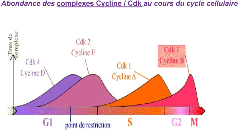 Cycline / Cdk au
