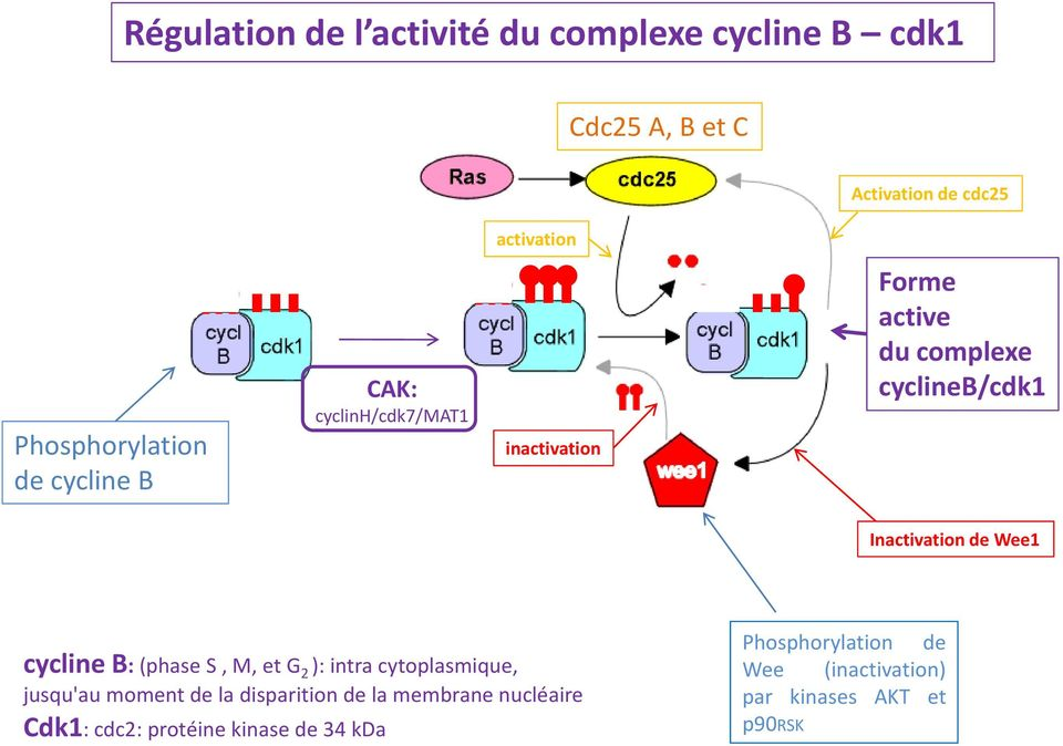 Inactivation de Wee1 cycline B: (phase S, M, et G 2 ): intra cytoplasmique, jusqu'au moment de la disparition