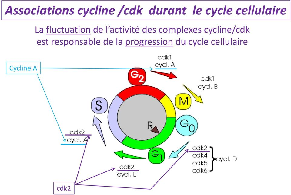 complexes cycline/cdk est responsable de la