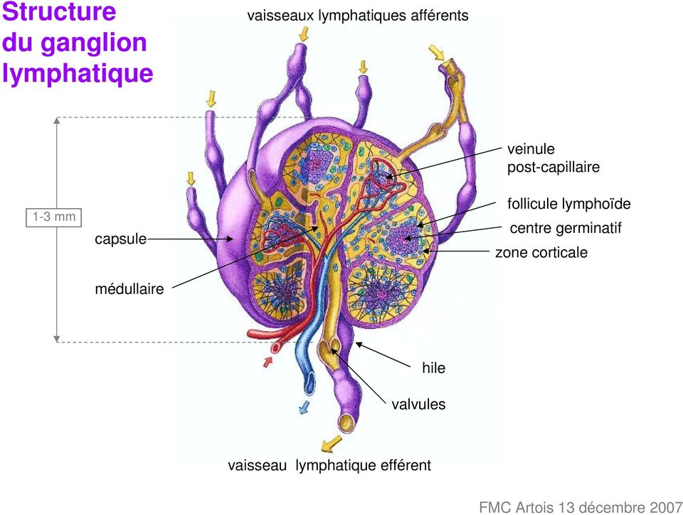 veinule post-capillaire follicule lymphoïde centre