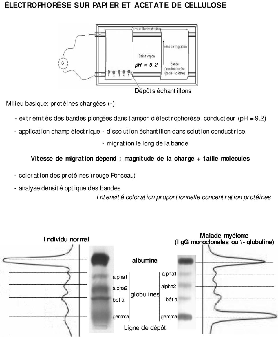 2) application champ électrique dissolution échantillon dans solution conductrice migration le long de la bande Vitesse de migration dépend : magnitude de la charge
