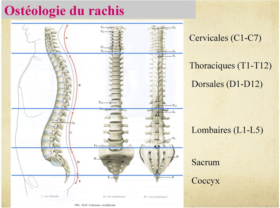Thoraciques (T1-T12)