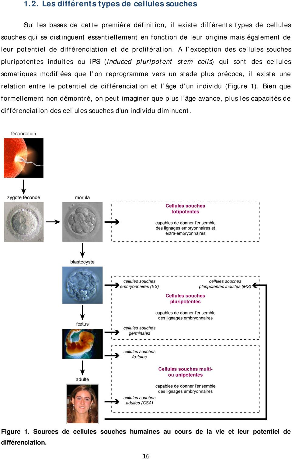 A l exception des cellules souches pluripotentes induites ou ips (induced pluripotent stem cells) qui sont des cellules somatiques modifiées que l on reprogramme vers un stade plus précoce, il existe