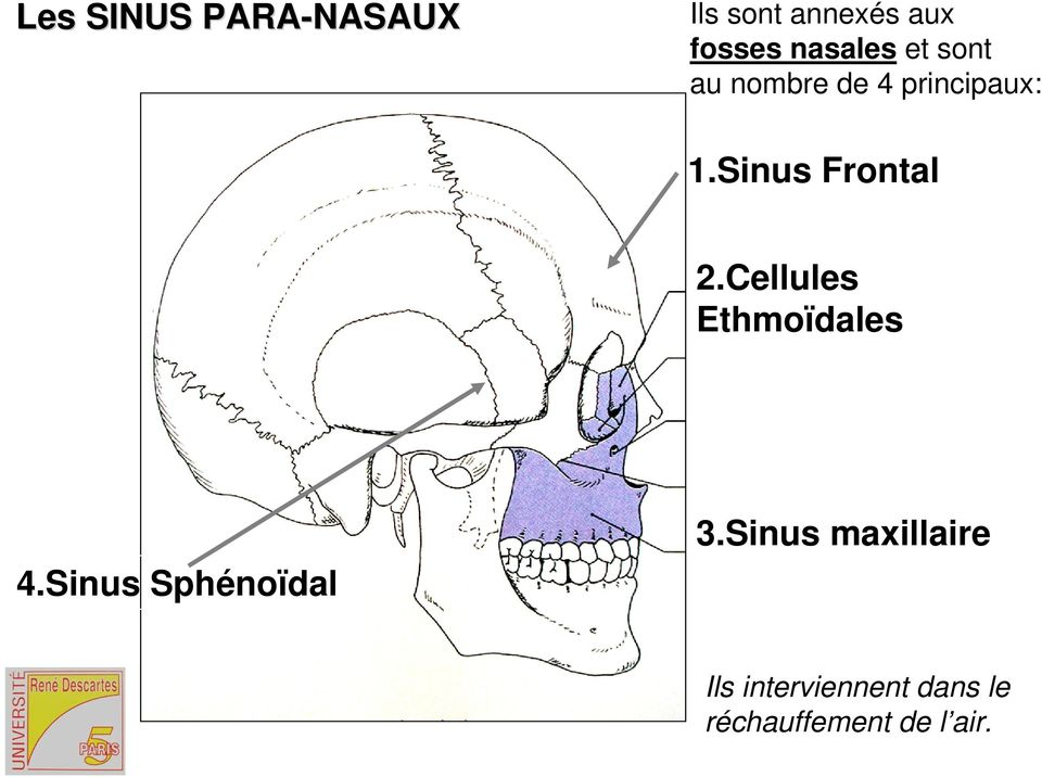 Sinus Frontal 2.Cellules Ethmoïdales 4.