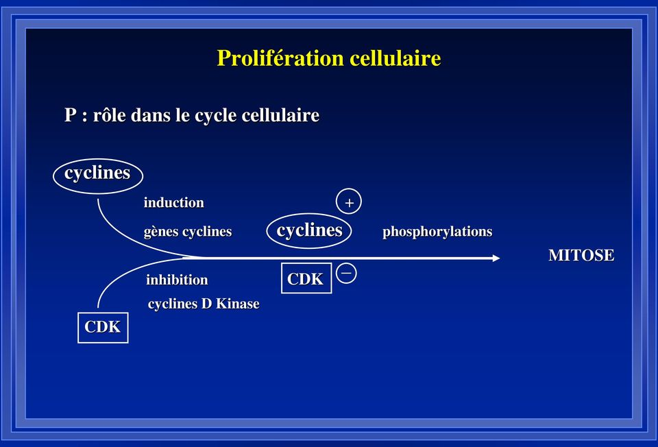 induction + gènes cyclines cyclines