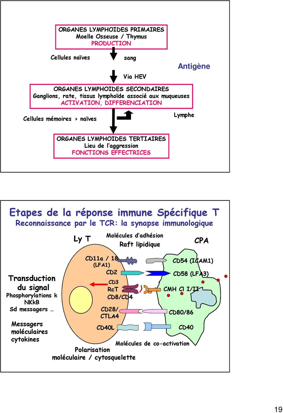 Spécifique T Reconnaissance par le TCR: la synapse immunologique Ly T Molécules d adhésion Raft lipidique CPA Transduction du signal Phosphorylations k NKkB Sd messagers Messagers