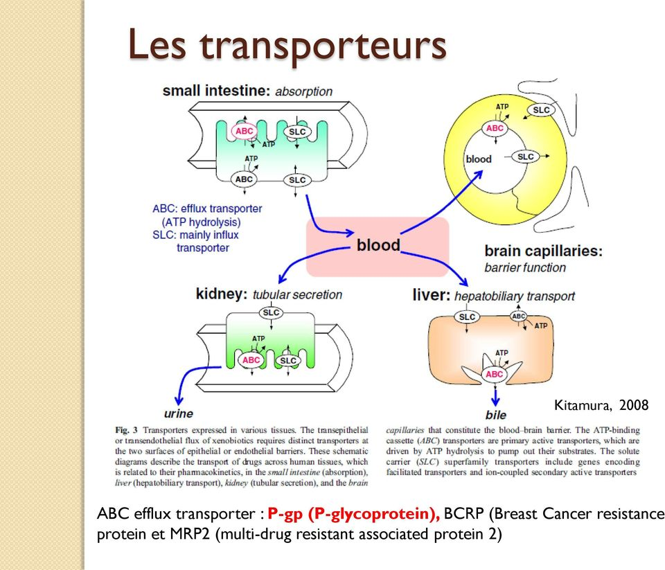 (P-glycoprotein), BCRP (Breast Cancer