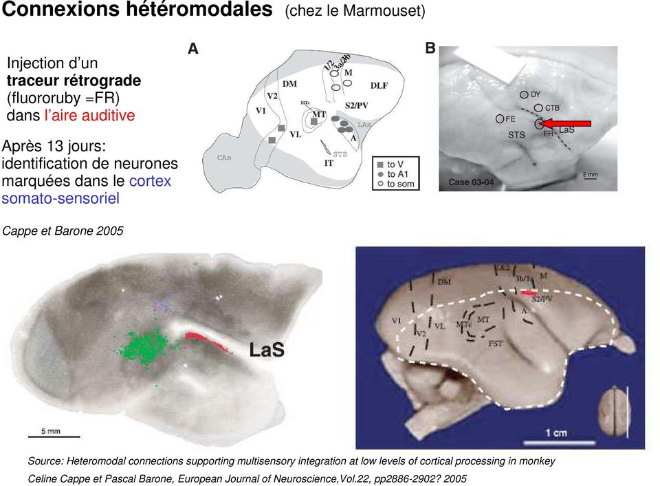 Barone 2005 Source: Heteromodal connections supporting multisensory integration at low levels of cortical