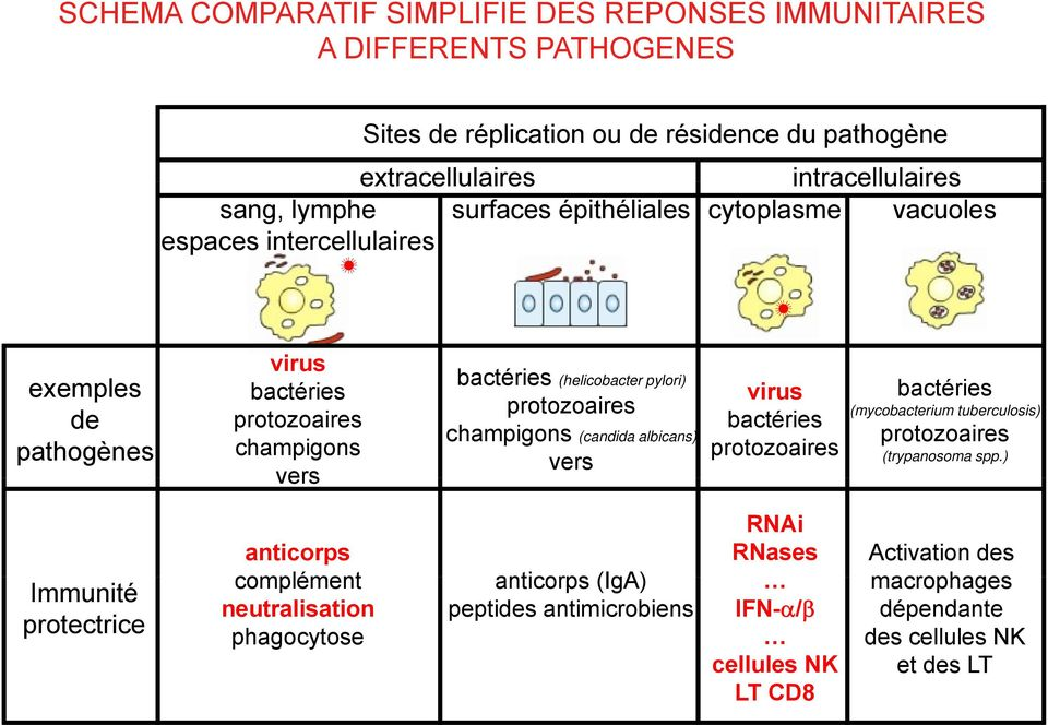 protozoaires champigons (candida albicans) vers virus bactéries protozoaires bactéries (mycobacterium tuberculosis) protozoaires (trypanosoma spp.