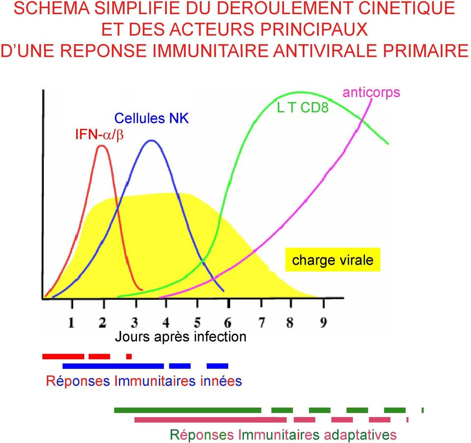 Cellules NK IFN-α/β L T CD8 anticorps charge virale Jours