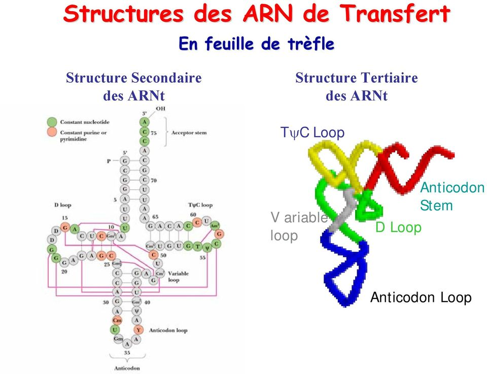 Structure Tertiaire des ARNt TψC Loop V