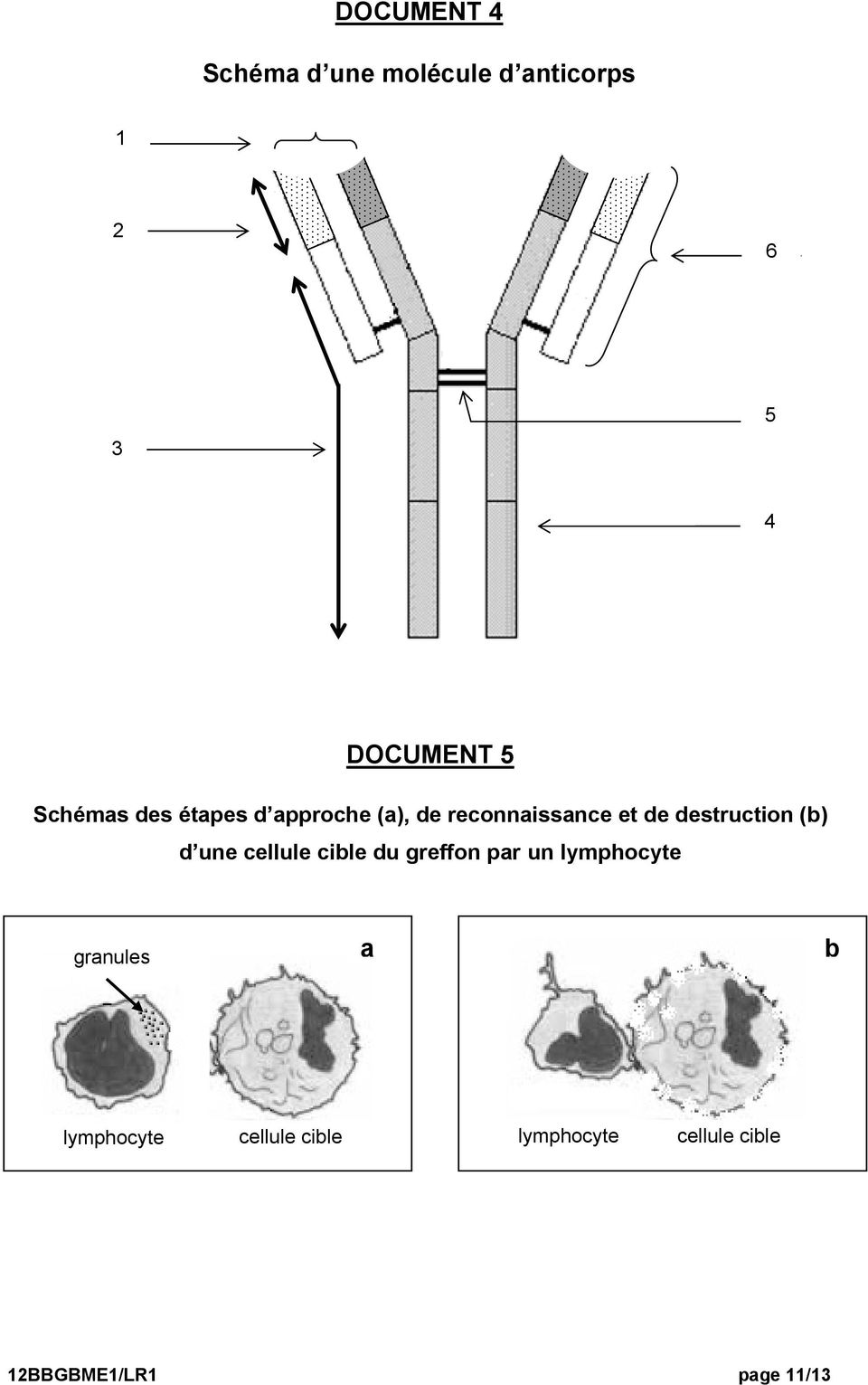 destruction (b) d une cellule cible du greffon par un lymphocyte
