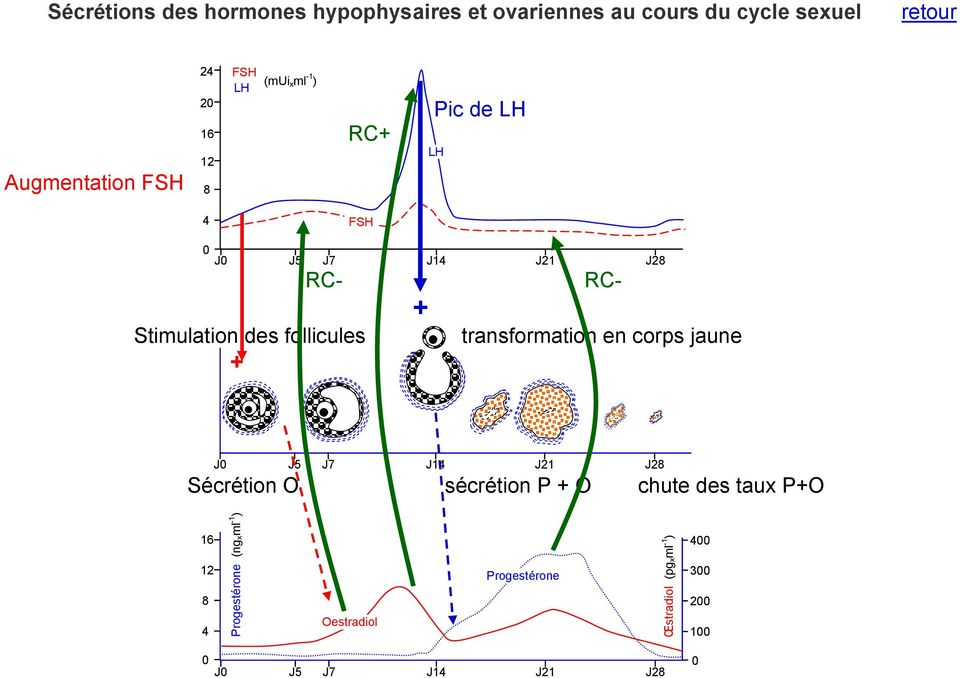 J14 J21 J28 RC- Stimulation des follicules + + RC- transformation en corps jaune J0 J5 J7 J14 J21 J28