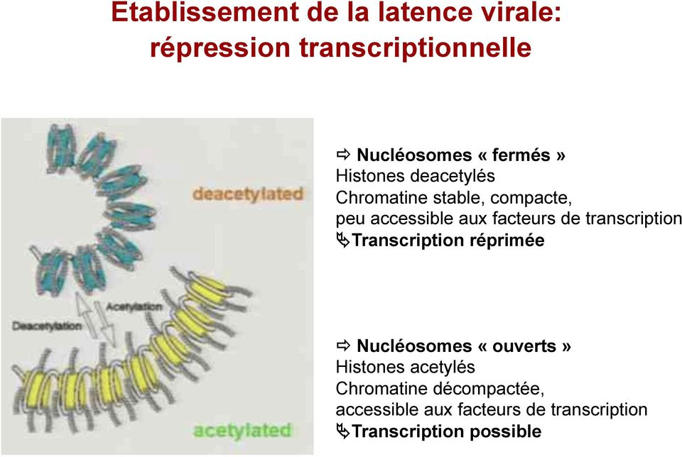 "accessible aux facteurs de transcription ""Transcription réprimée!"