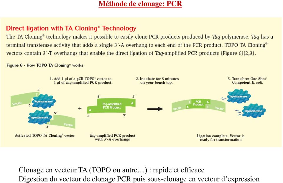 efficace Digestion du vecteur de clonage