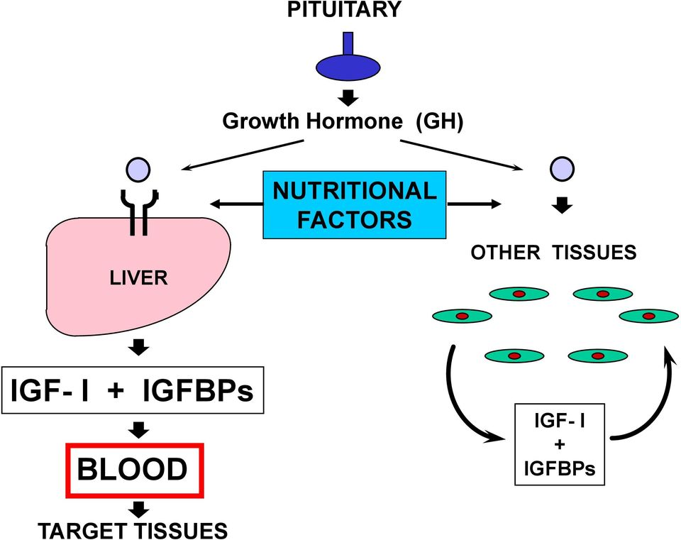 OTHER TISSUES IGF- I + IGFBPs