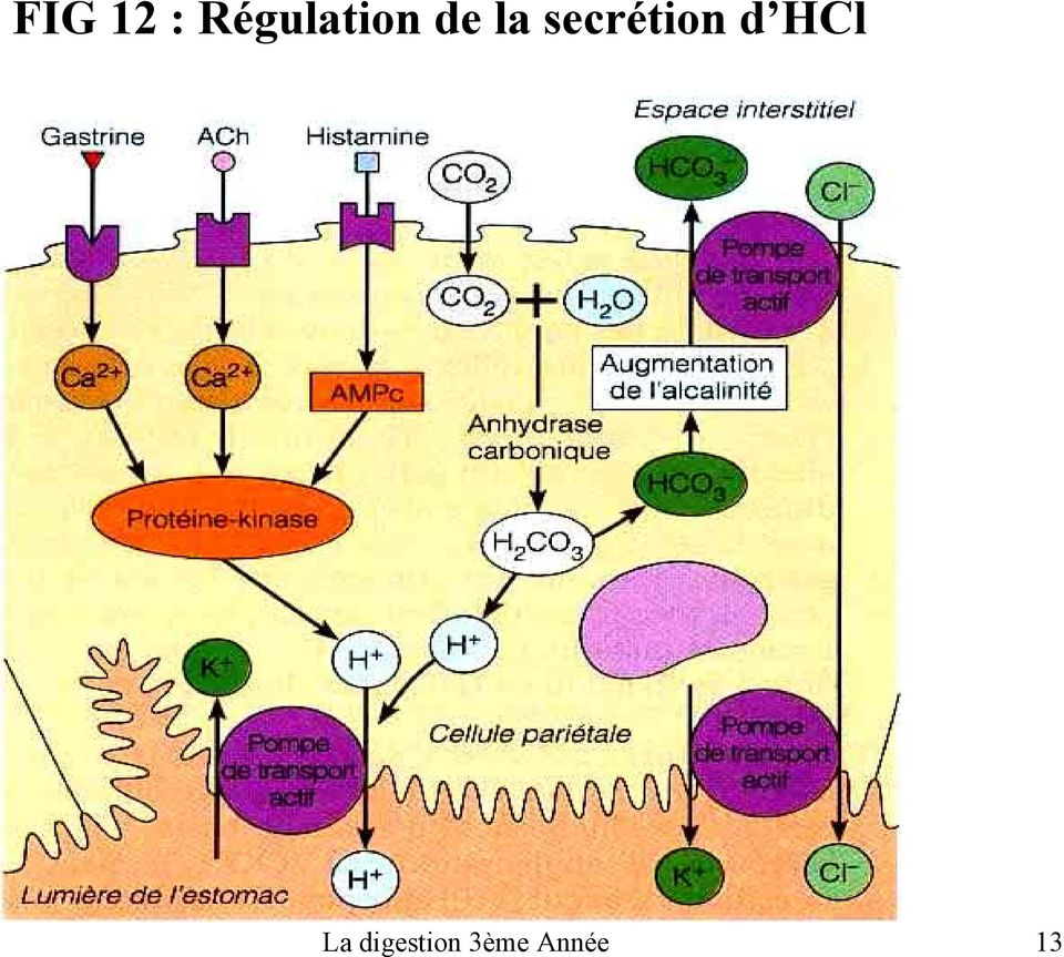 secrétion d HCl