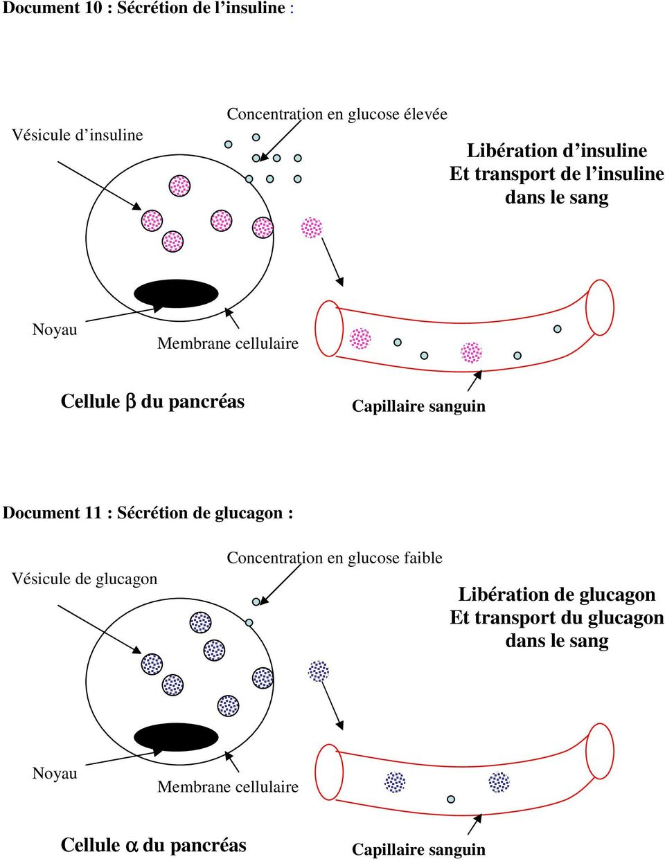 sanguin Document 11 : Sécrétion de glucagon : Vésicule de glucagon Concentration en glucose faible Libération